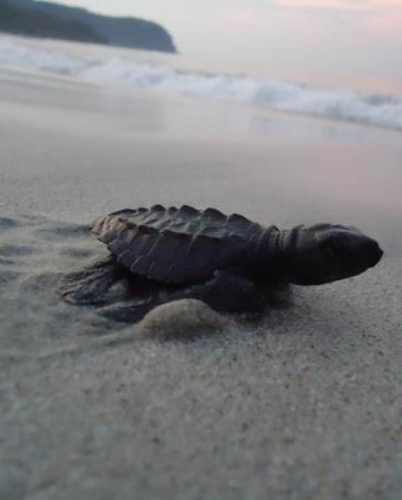 Tour de liberación de Tortugas Marinas | Salida de Nuevo Vallarta